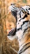 """Москитная сетка - """"Тигр. Оскал"""""""