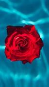 """Москитная сетка """"Бутон розы в воде"""""""